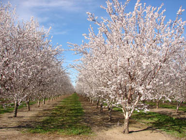 mhalmond orchard